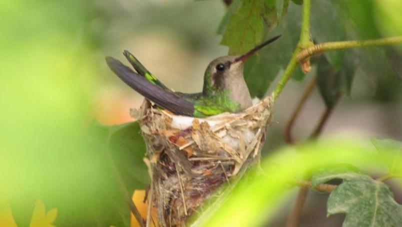 nido colibrí